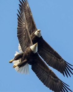 √ 11 Types of Eagles in The World With Awesome Pictures Types Of Eagles, The Eagles, Love Birds, Beautiful Birds, Animals Beautiful, Nature Animals, Animals And Pets, Cute Animals, Photo Aigle
