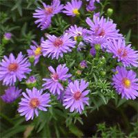 aster - blooms spring to fall - full sun - good for zone 9 - attracts butterflies
