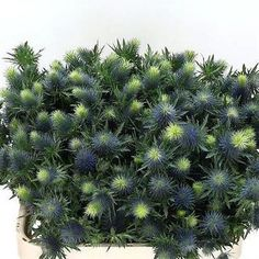 Eryngium (thistle) Supernova  (length 80 cm) is a great filler for arrangements! They add texture to the overall flower arrangement! Brilliant for Winter or Autumn  weddings and events! Head over to www.trianglenursery.co.uk for more info! Great Wholesale prices!