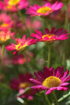 ~~Marguerite Daisy - Madeira Red~~
