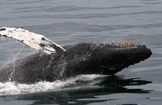 Breaching humpback whale landing in Faxafloi Bay ! #reykjavik #iceland #whalewatching www.specialtours.is