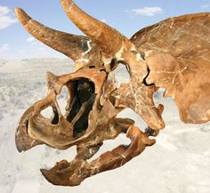 Meet Homer, the teenager (sub-adult) Triceratops that lived 66 million years ago in the Cretaceous period. Discovered in the Badlands of Montana (USA) in 2005. ---    Burpee Museum of Natural History | Homer Exhibit