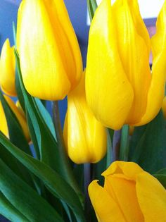 Yellow tulips are so fresh, don't you think? Parrot Tulips, Yellow Tulips, Tulips Flowers, Daffodils, Beautiful Flowers, Coat Of Many Colors, Different Flowers, Shades Of Yellow, Mellow Yellow