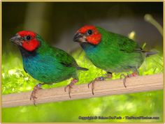 Peales Parrot Finch Pair