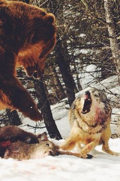 wolverxne:Wolf Challenges a feeding Bear | by: Anne-Marie Klaus