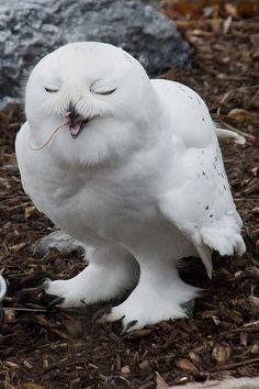 Snowy Owl. #yummy