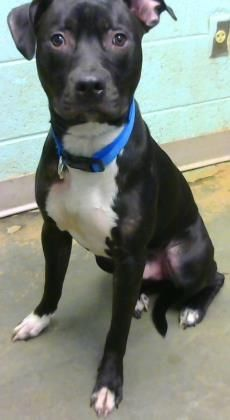 Mackerel - URGENT - Dekalb County Animal Shelter in Decatur, Georgia - ADOPT OR FOSTER - 1 year old Male Am. Pit Bull Mix