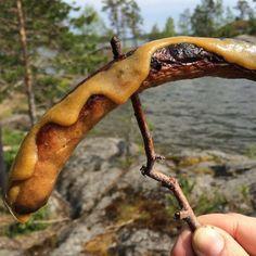Ruokapankki: Juhannusfiilistelyä... Lammasmakkaraa järven rannalla #järvi #suomi #makkara #sausage #summer #finland #ruokapankki #ruokablogi #blogi #blog
