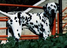 dalmatians and horses | Dalmatian Dog Puppies 5 150x150 Dalmatian Dog Puppies