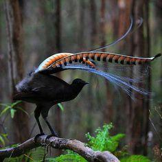 """""""Superb Lyrebird"""""""
