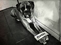 Magnus is a Dog Model with many positive reviews! Works #Fiverr. Get pictures of my Boxer doggie with your sign for $5, on fiverr.com #marketing #advertising