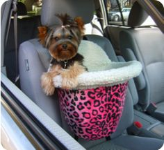 Yorkie in a bed car seat