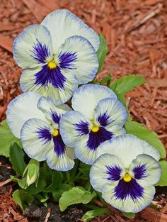 pansies - my all time favorite flower