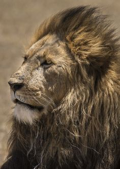 Unique Animals, Animals And Pets, Cute Animals, Beautiful Cats, Animals Beautiful, Lion Background, World Wild Life, Lion Walking, Lion And Lioness