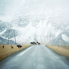 When driving and traveling via the Ring Road (Route 1) in Iceland, you will often pass herds of horses, like here at Höfn, Iceland. The Icelandic horses are outside most of the time all year round in Iceland, hence you will easily come to meet one or two friendly horses on your vacation in Iceland. Photo by Andy Lee.