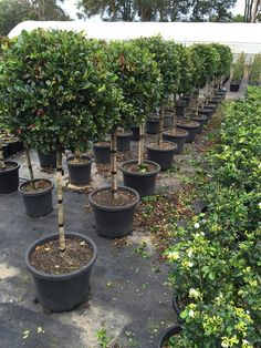 Must Buy - Syzygium Resilience Standard Topiary (Lollipop plant) xxl 400mm Pot SUPER SPECIAL - Budget Nursery Sydney