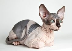 Sphynx Cat Breed... I want one. I will talk Joey into it one day! Lol