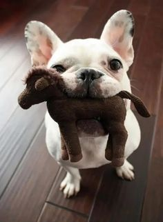 14 Reasons French Bulldogs Are The Worst Indoor Dog Breed Of All