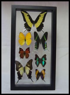 Butterfly Frame Seven Specie by timelessdesigns07 on Etsy