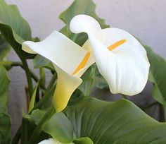 Calla Lily, Zantedeschia aethiopica: Bride's Bouquet Sculptural and startlingly exotic, the Calla lily (also known as Arum lily) is both an intriguing and Flower Art Images, Flower Photos, Calla Lily Flowers, Calla Lilies, White Flowers, South African Flowers, Lily Care, Zantedeschia Aethiopica, Felt Flower Tutorial