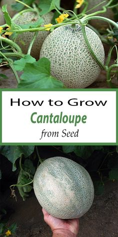 CAN I GROW CANTALOUPE? This easy growing specialty melon can be direct sown after all danger of frost, or started indoors weeks before setting out. Melons take some space to grow and vin… Planting Cantaloupe, Growing Cantaloupe, Growing Melons, Cantaloupe And Melon, Growing Fruit Trees, Growing Vegetables, Fruit Garden, Garden Seeds, Garden Plants
