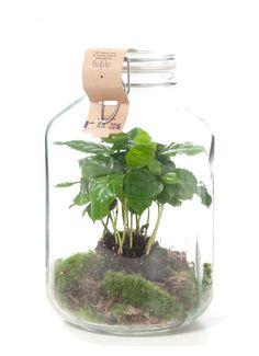 Op zoek naar Green lifestyle store Coffea arabica plant in weckpot ? Ma t/m za voor 22.00 uur besteld, morgen in huis door PostNL.Gratis retourneren.