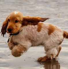 Cute Baby Puppies, Cute Baby Animals, Cute Dogs, Dogs And Puppies, Doggies, Show Cocker Spaniel, Cocker Spaniel Anglais, Chiots Springer Spaniel, Springer Spaniel Puppies