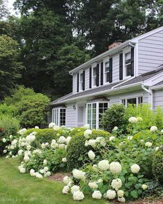 Gorgeous+Annabelle+hydrangeas!+Post+includes+great+tips+for+when+and+how+much+to+prune+them!
