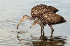 Mother and Baby Limpkin - Remix