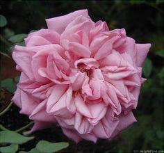 'Malmaison Rouge ' Rose Photo*