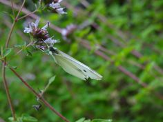 Cabbage White Butterfly by Gina Marino