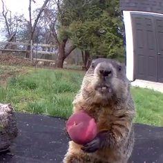 Funny - Cute Marmot Eating a Peach Animal Jokes, Funny Animal Memes, Funny Dogs, Cute Dogs, Silly Dogs, Funny Humor, Funny Animal Photos, Cute Animal Videos, Cute Little Animals