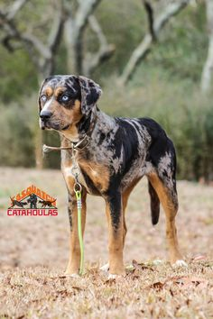 Solid Blue Catahoula Leopard Dog