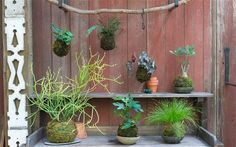 'Kokedama' is growing in popularity as a way of displaying plant. Clay-based akadama bonsai soil serves as the glue to hold the root ball together