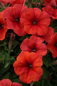 Petunia 'Bingo Perfectunia Orange'
