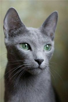 I have a penchant for Grey cats as they are usually Russian Blues or Blue mixes. I had one Blue darling for 13 years & miss him terribly. Love you so much, F. <3
