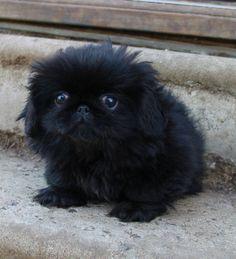 Puppy Photos - Moshka Pekingese