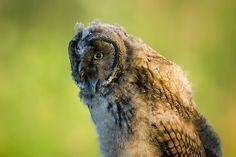 Owls of Redland