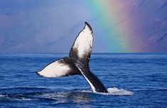 Whale and rainbow A humpback whale dives against the backdrop of a rainbow in Molokai, Hawaii.