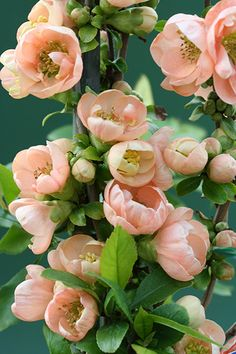 Flowering Quince, Chaenomeles speciosis 'Geisha Girl' How delightful these blossoms in Spring, they appear well before the leaves and are held magically on to the dark bare branches of the plant!