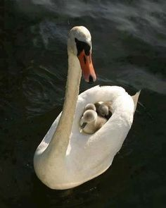 Eautiful animal photpgraphy White swan with babies