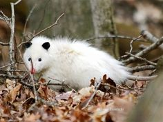 This rare leucistic opossum was spotted in a Central Illinois woods.