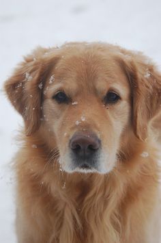 Onze Golden Retriever Tommy
