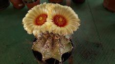 Astrophytum capricorne Fruit, Plants, Capricorn, Plant, Planets