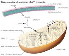 The 3 Main Stages of Cellular Respiration: The three processes of ATP production or celluar respiration include glycolysis, the tricarboxylic acid cycle, and oxidative phosphorylation.