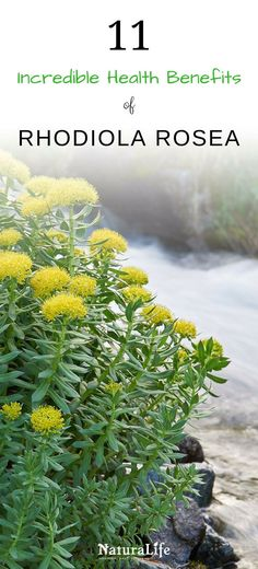 Rhodiola rosea is a powerful adaptogenic herb that's packed with a wide range of health benefits. Science has shown that it's effective for increasing your energy, fighting fatigue, alleviating stress and depression, increasing your physical performance, and so much more. Click to learn more about how rhodiola can benefit you. via @NaturalifeTips