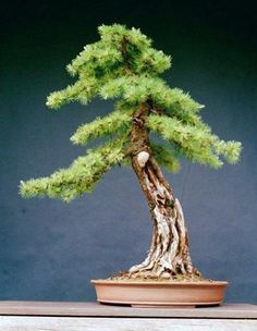 "JP: Larix laricina ""The Demon Larch"""