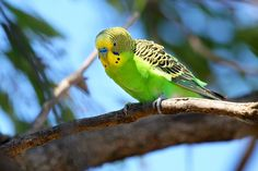 In this article we will give information about the budgerigar, which will be regarded as a budgerigar. Which family is the budgerigar? The budgerigar is a species commonly worn by bird lovers f Budgie Parakeet, Budgies, Budgerigar Bird, Animals And Pets, Cute Animals, Australian Parrots, Bird Facts, Show Video, Kinds Of Birds
