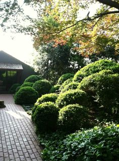 Clouds of boxwoods hem the walk to the guest cottage