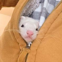 Ferret hiding in a jacket